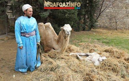 Верблюженок родился по дороге на праздник